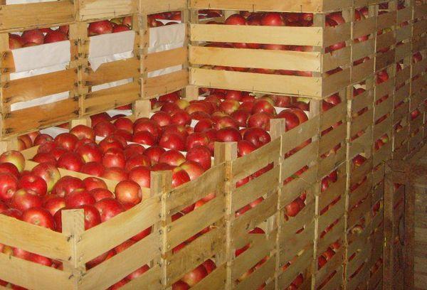 Хранения яблок в ящиках