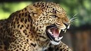 Картины по номерам - леопарды