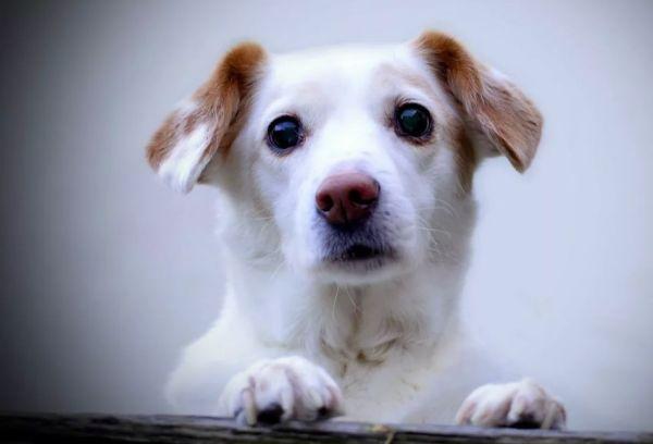 Белый пес
