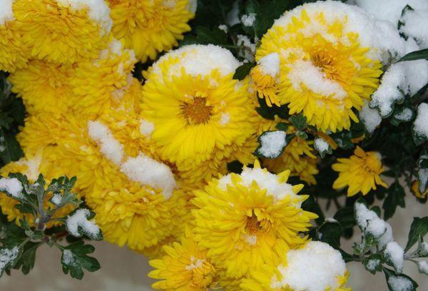 Зимние хризантемы
