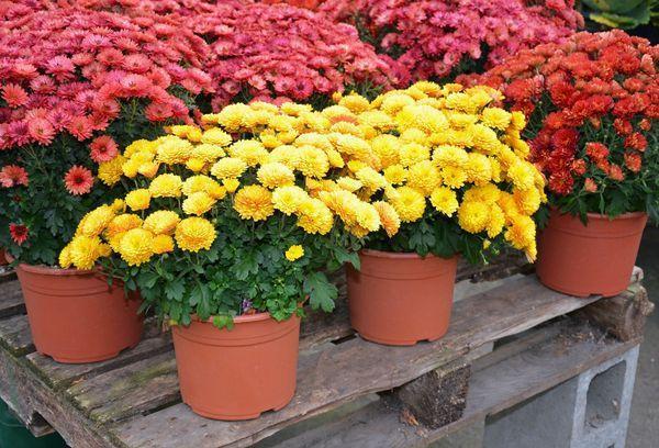 Цветущие кустарники в горшках
