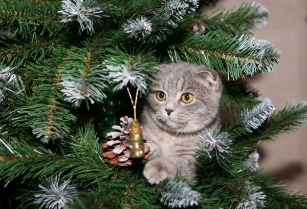 Британский кот и елка